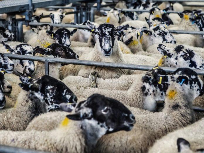 Farma ovaca