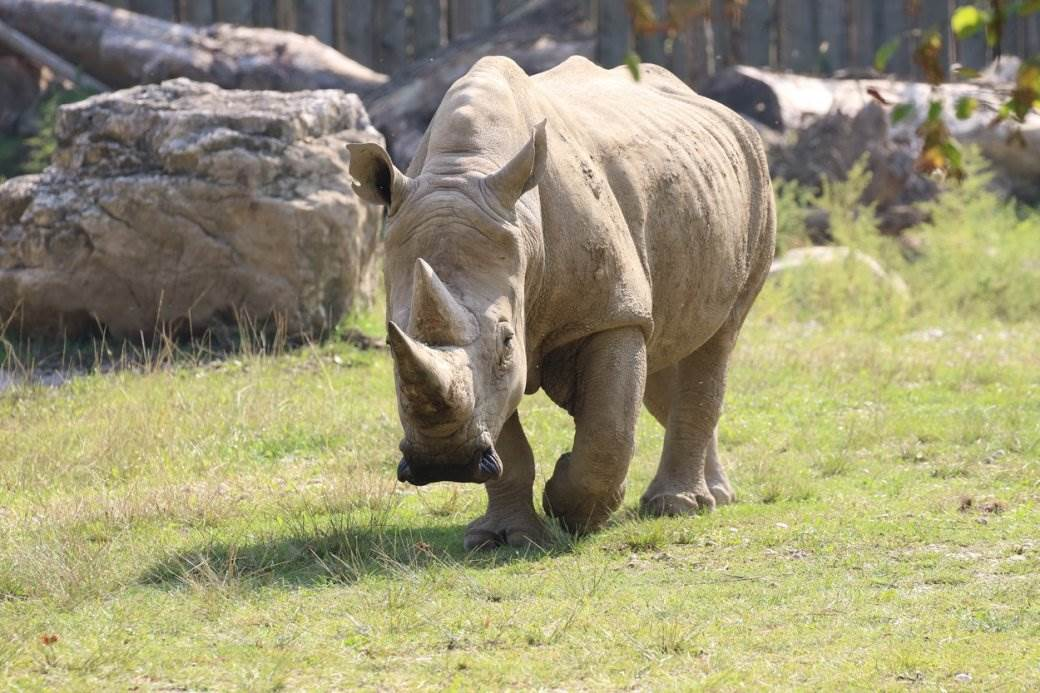 beli nosorog